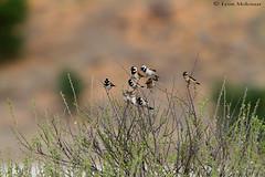 Desert sparrows (leendert3) Tags: leonmolenaar southafrica kgalagaditransfrontierpark wildlife nature birds capesparrow ngc npc coth5 naturethroughthelens