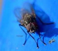 Contemplando (rosaadda) Tags: closeup macro macrofotografía fly mosca insects insectos