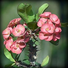 Euphorbia Milii (Crown of Thorns) (Manoo Mistry) Tags: euphorbiamilii crownofthorns flowers thorns plants nikon nikond5500 tamron tamron18270mmzoomlens garden parks
