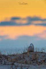 Snowy Owls of New Jersey   2018 - 47 (RGL_Photography) Tags: beachowl birding birds birdsofprey birdwatching buboscandiacus ibsp islandbeachstatepark jerseyshore mothernature nature newjersey nikonafs600mmf4gedvr nikond5 oceancounty ornithology owls raptors snowyowl snowys us unitedstates wildlife wildlifephotography ©2018rglphotography
