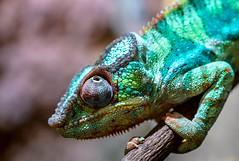 Observation (Mr.Kropp) Tags: chameleon green color bunt eye lizard animal sonya7rii