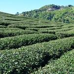 101 Tea factory east of Mae Salong (Northern Thailand 2018) thumbnail