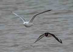 Shellness 05.01.19 Herring gull and Oyc flying