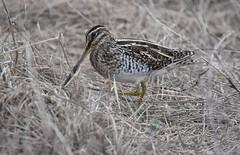 Snipe (Pam P Photos) Tags: snipe bird seatonwetlands