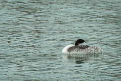 Clark's Grebe (phoca2004) Tags: aechmophorusclarkii bird birding clarksgrebe d90 heronsheadpark nikon sanfrancisco