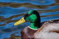 Sutton Park - Keeper's Pool (Mikon Walters) Tags: duck sutton coldfield park england uk britain nikon d5600 sigma 150600mm super zoom lens photography close up water pool lake male yellow green brown feathers