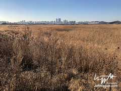Shihueng Marsh (Jeff Higgott (Sequella.co.uk)) Tags: jeffhiggott jeffhiggottphotography sequella southkorea bird marsh reed sedge