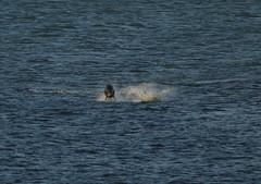 IMG_5410 (monika.carrie) Tags: monikacarrie wildlife scotland aberdeen dolphins dolphin cetacean mammals