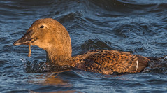 Female King Eider crushing mussels (pictaker64) Tags: