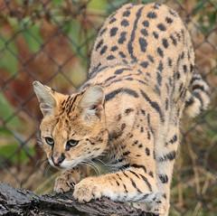serval Blijdorp 094A0407 (j.a.kok) Tags: animal blijdorp mammal dier serval servalcat cat kat leptailurusserval africa afrika