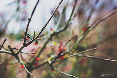 """a cry in the night, a strangled laugh..."" (amber {in the shadow of za'ha'dum}) Tags: canon5d canon5dmk3 sigma sigma35mmf14 35mm f14 bokeh bokehlicious bokehwednesday hbw natureycrap nature tree treekeh tra totallyradactions pixelsugar 2019 beaverton oregon berries winter january"