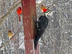 Dryocopus pileatus (pileated woodpecker) 4 (James St. John) Tags: dryocopus pileatus pileated woodpecker woodpeckers bird birds northern cardinal cardinals newark ohio licking county