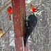 Dryocopus pileatus (pileated woodpecker) 4