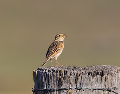 Horsfield's Bushlark (Mirafra javanica) (petermurphy14) Tags: horsfieldsbushlark lark mirafrajavanica parkwoodroad australianbirds birds birdsofaustralia
