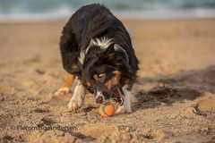 fetch the ball (Flemming Andersen) Tags: sand pet nature dog bordercollie yatzy ball outdoor fetch animal vestervig northdenmarkregion denmark dk action