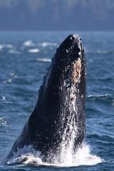 Humpback Whale Breaching (gainesp2003) Tags: humpback whale breaching breach wildlife ocean sea pacific canada