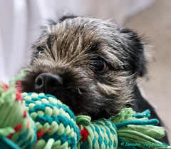 Tiggy - 28th Jan 19 (TAZ BRADLEY) Tags: afsnikkor50mm14g jennyb tiggy borderterrier puppy nikon nikond90 50mm nikkor cutepuppy dog dogs dcp