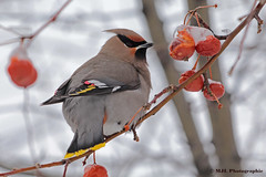 Jaseur boréal-Bohemian Waxwing (Marie-Josée Lévesque) Tags: oiseau hiver winter bird jaseurboréal jaseur bohemianwaxwing nature wildlife faune nourriture food arbrefruitier baies berries