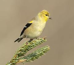 American Goldfinch (Elizabeth Wildlife) Tags: american goldfinch