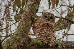 Barred Owl (Stephen J Pollard (Loud Music Lover of Nature)) Tags: búholistado raptor averapaz owl búho barredowl birdofprey avedepresa bird ave