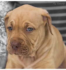 Pitbull puppy (Puykamo@Tнai) Tags: puppy adorable sweet face pitbull cute