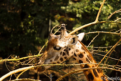GIRAFFE (giuliacristini1) Tags: pic pictures photography foto fotografar wildlife fotografia mondo mundo world giraffe giraffa mangiare eat eating comer