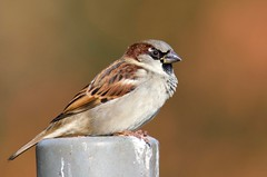 House Sparrow (M) - Taken at Barnwell Country Park, Oundle, Northants. UK. (Ian J Hicks) Tags: