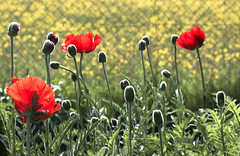 We Will Remember Them (Wildlife & Nature Photography) Tags: poppies flowers memorial remembranceday red heroes peace sacrifice wewillrememberthem 11november remembrance war conflict ptsd triservices grass buds nature sun fence england unitedkingdom