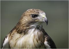 Brown Falcon portrait (Charles Connor) Tags: brownfalcon falcon raptors birdsofprey hawks birdphotography birds naturephotography nature beaks beautifuleyes eyes featherdetail backgroundblur canondslr
