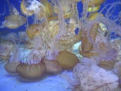 Sea nettle (rasputina2) Tags: longbeach aquariumofthepacific seanettle jellyfish seajelly