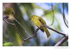 - Yellow Browed Bulbul - (SUSHIL | FOTOS) Tags: paris bulbul bulbulfamily yellowbird yellowbrowedbulbul yellowbulbul indianbird keralabird malabarbirds indianbirds keralabirds commonbirds sushilfotos sushilphotography kannurbirds