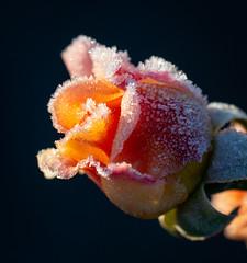 Rose (LuckyMeyer) Tags: frost garden autumn rose ice makro sun light flower fleur