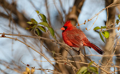 Northern Cardinal (Lynn Tweedie) Tags: wood beak winter northerncardinal wing canon ngc red leaves male 7dmarkii missouri bird tree feathers tail eye animal sigma150600mmf563dgoshsm eos