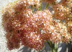 crassula perfoliata ssp.perfoliata