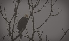 under the cover of fog, looking for prey - Bald Eagle (foto tuerco) Tags: bald eagle fog perched oregon koll