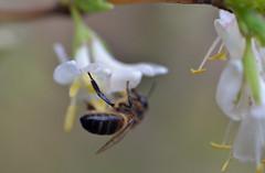 honey bee on Lonicera × purpusii 'Winter Beauty' (conall..) Tags: lonicera × purpusii winter beauty lonicera×purpusii winterbeauty nikonafsnikkorf18glens50mm prime lens primelens rowallane national trust saintfield northernireland bee honeybee apis mellifera apismellifera pollination flower flowerhead closeup raynox dcr250 macro honeysuckle shrubhoneysuckle fragrant scent citrus distinctive
