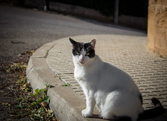 Angry fat cat (radoslav.bonev) Tags: angry fat cat white streetphotography animal photography pictureoftheday pictureftheday road ngc green black bokeh canon700d canon gato outside verde winter composition travel travelphotography calle urban
