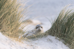 Grey Seal puppy from Helgoland (Germany) (Chris van riel) Tags: cute sweet puppy seal beach sand water sea ocean wildlife nature sony a7riii gm ggmaster 70200