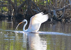 GREAT WHITE HERON (concep1941) Tags: birds heronfamily allsaltandfreshwater mrazekpond evergladesnationalpark