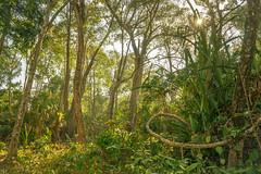 Friendly forest (feisas) Tags: indonesia java sun nature landscape matahari colorful outside outdoor local vivid green trees forest alam bagus light morning junge taman friendly birds grass adventure hiking travel rimba sonya7 fullframe banten