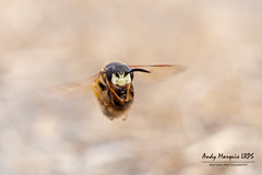 Philanthus triangulum (AndyMarquis105) Tags: bee wolf