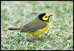 Hooded Warbler (Ed Sivon) Tags: america canon nature lasvegas wildlife wild western southwest desert color bird black flickr yellow galveston texas