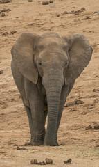 DSC08838 (Paddy-NX) Tags: 2019 20190109 addoelephantnationalpark africa elephant sony sonya77ii sonyalpha sonyalphaa77ii sonysal70300g southafrica wildlife