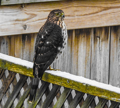 Coopers Hawk (Dan Annable) Tags: coopershawk nature predator raptor bird hunting