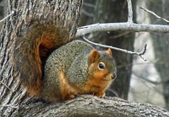 IMG_2023-1 (lbj.birds) Tags: kansas nature flinthills wildlife squirrel easternfoxsquirrel