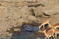 A Drying Waterhole (Rckr88) Tags: krugernationalpark southafrica kruger national park south africa a drying waterhole adryingwaterhole water animals animal nature outdoors wildlife impala antelope