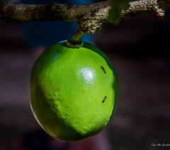 2018 - Mexico - Hacienda Sotuta de Peón - 2 Ants on Green Fruit (Ted's photos - Returns late Feb) Tags: 2018 cropped haciendasotutadepeón mexico nikon nikond750 nikonfx tedmcgrath tedsphotos tedsphotosmexico vignetting yucatan green ants fruit round bokeh