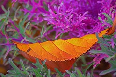 Spectrum (L@nce) Tags: macro leaf leaves shrub hedge bush victoria jamesbay britishcolumbia nikon nikkor