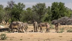 Mountain zebras (elebe.foto) Tags: africa mountainzebra namibia southwest okonjima