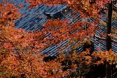 autumn rays (ababhastopographer) Tags: kyoto takao jingoji morning ray sunlight autumn euonymusalatus 京都 高雄 神護寺 紅葉 錦木 ニシキギ 秋 朝 光線 reflection nisikigi